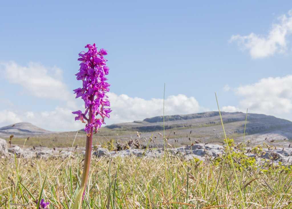 Early purple orchid Burren