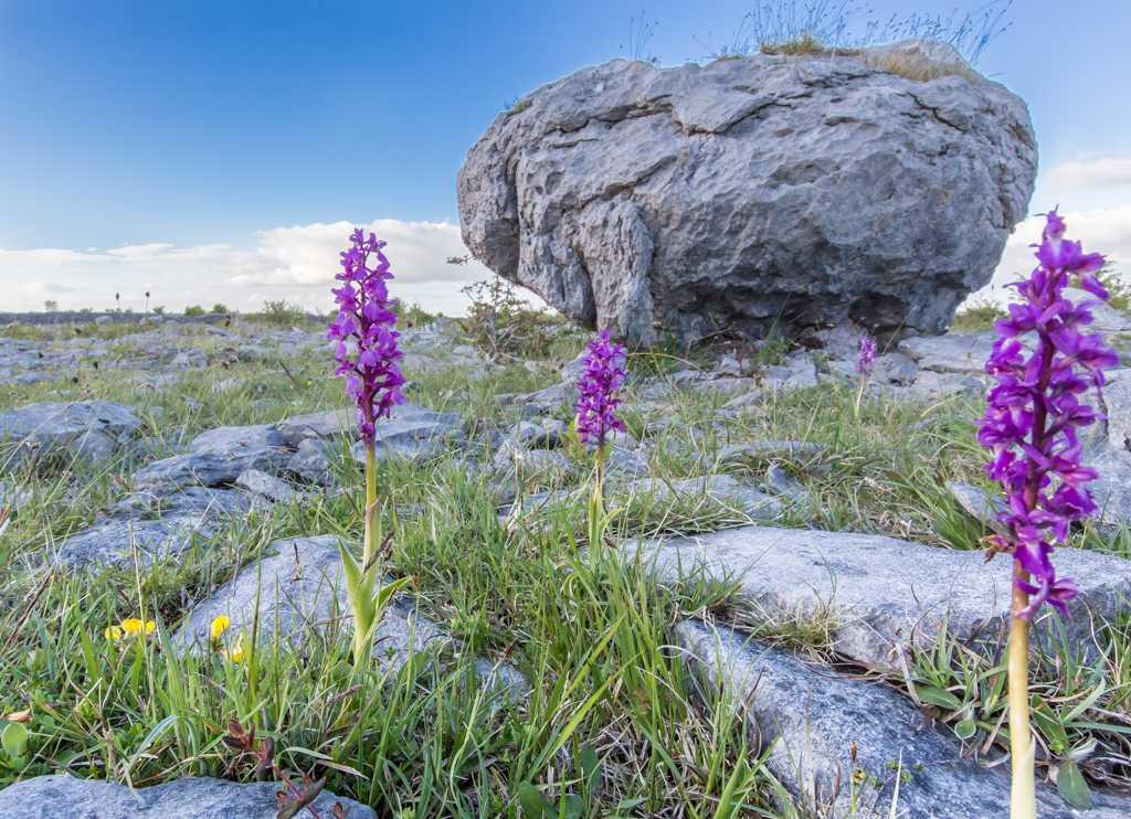 Limestone erratic Purple orchids