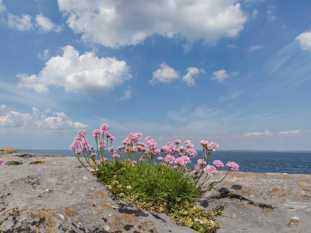 sea wild flowers Burren